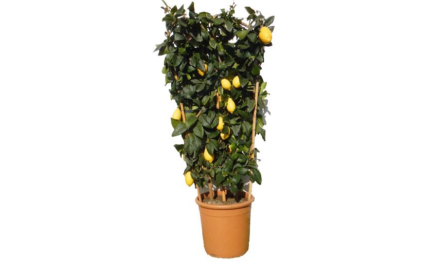 Pianta grande di limone lunario 4 stagioni a spalliera in for Pianta limone 4 stagioni