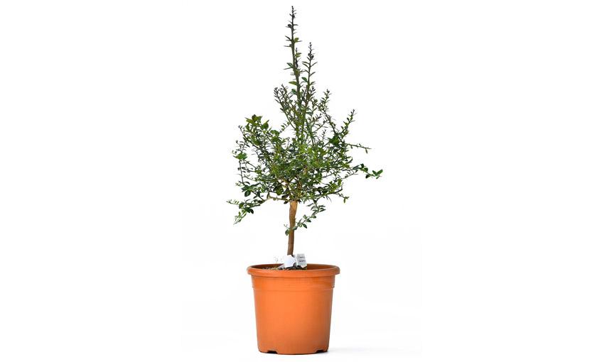 pianta-di-eremolemon-2.jpg