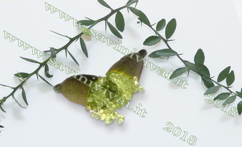 pianta-di-limone-caviale-verde.jpg