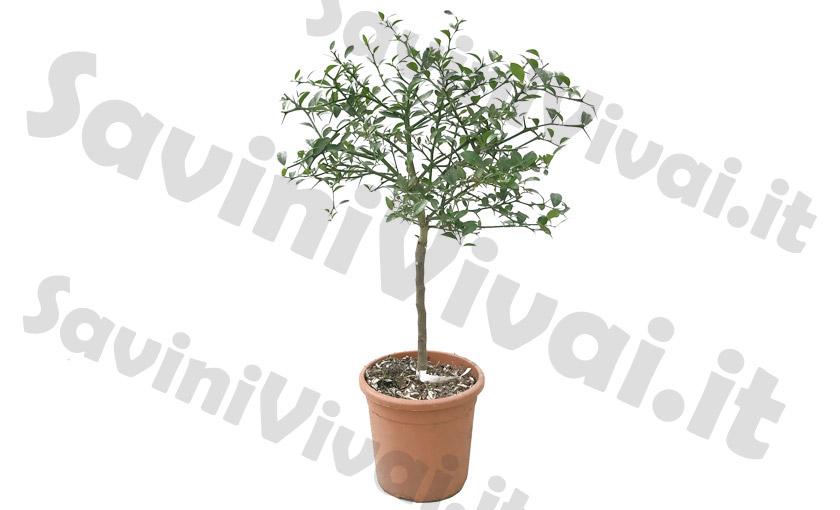 limone-caviale-verde-pianta.jpg