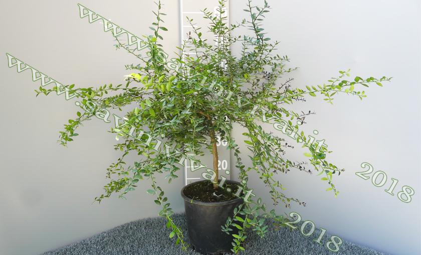 pianta-di-limone-caviale-chicchi-verdi-s