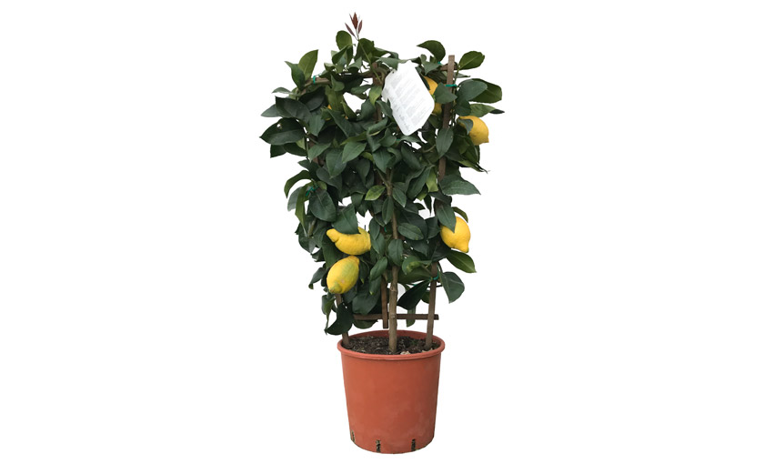 Pianta di limone lunario a spalliera in vaso 24 cm for Pianta limone 4 stagioni