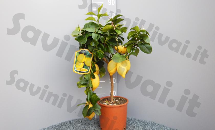 limone-lunario-4-stagion-saviniuvivaii_2