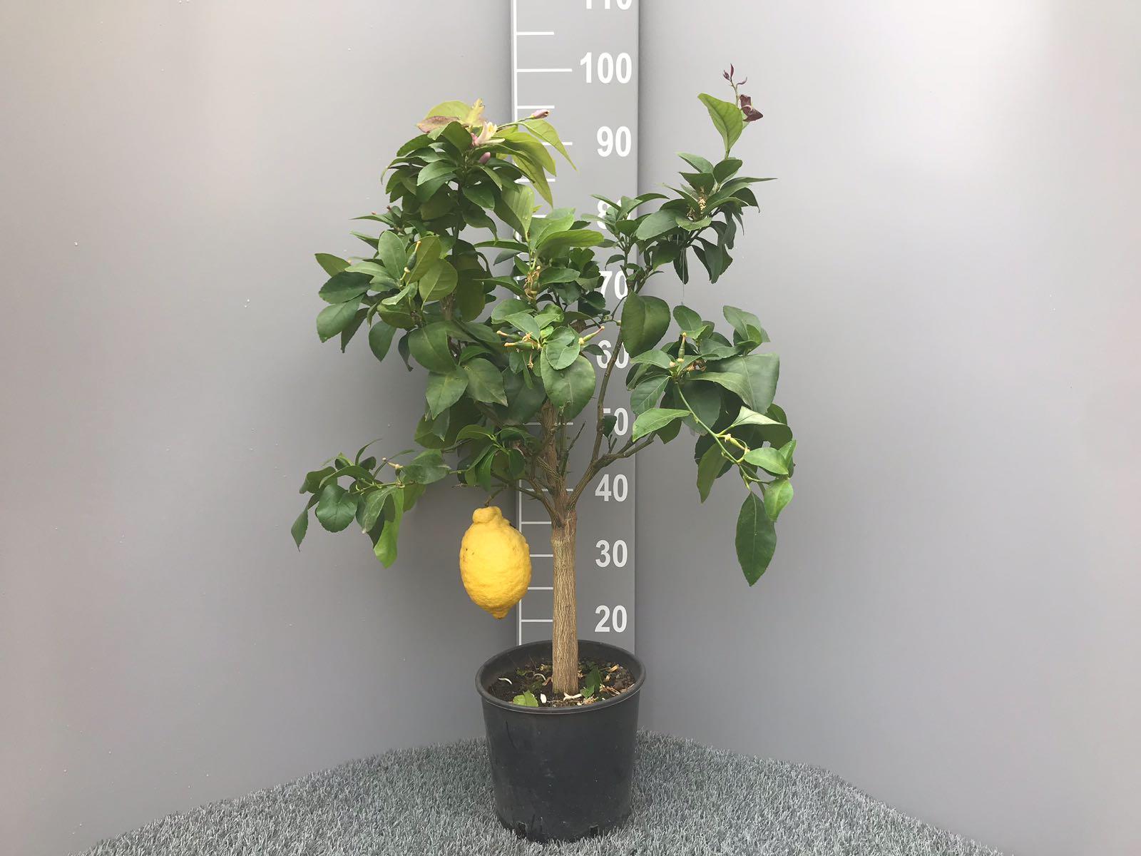 Pianta di limone 4 stagioni con tronco grosso in vaso 20 for Pianta limone 4 stagioni