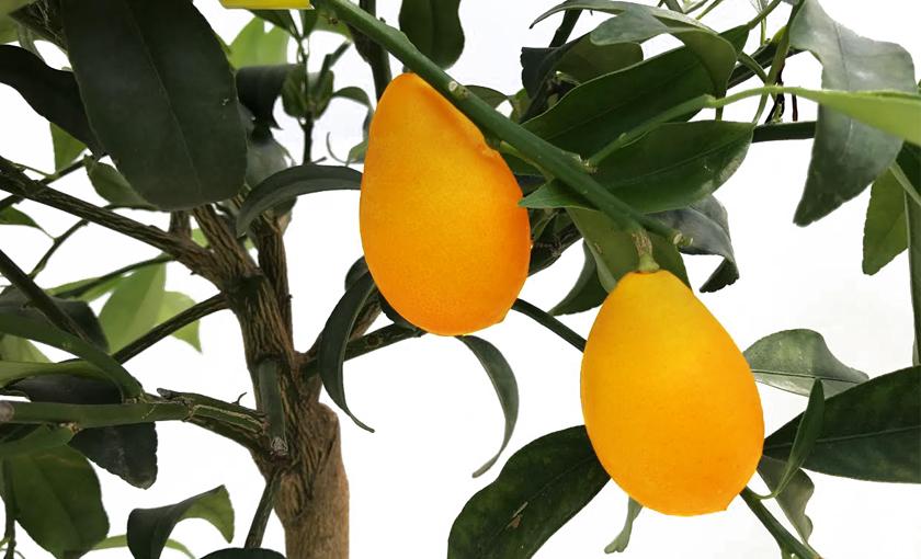 kumquat-gigante-1.jpg