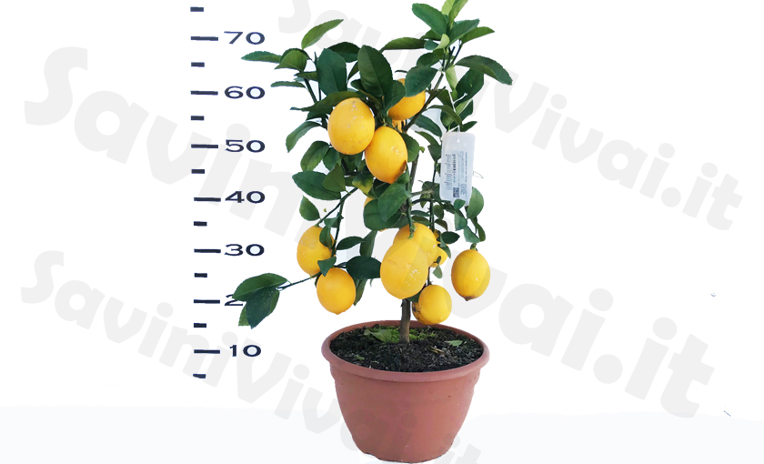 limone-meyer-in-vaso-20-ciotola.jpg