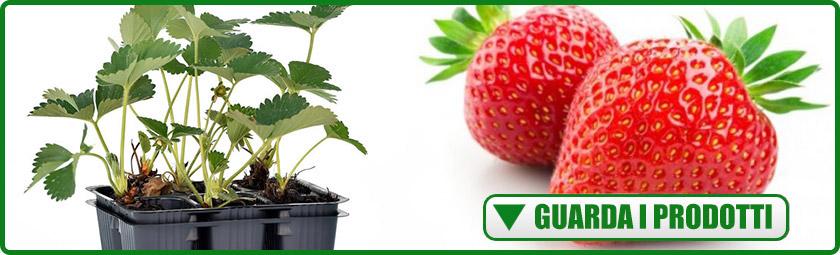 Piante di fragole in vaschette savini vivai di savini for Fragole piante vendita