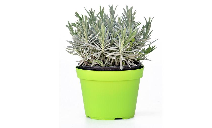 Pianta di lavanda angustifolia lavandula angustifolia in for Pianta lavanda in vaso