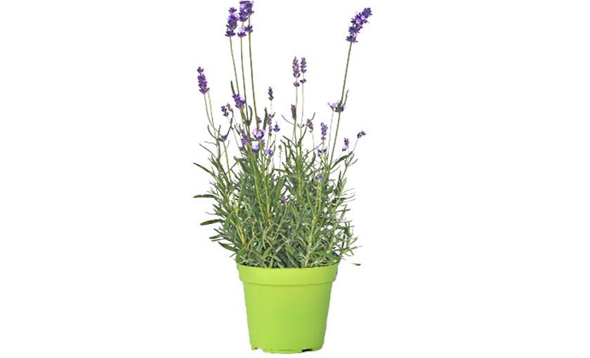 pianta-di-lavanga-hidcote-savinivivai