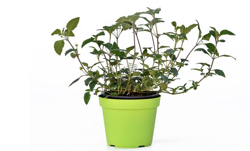 pianta-di-menta-bergamotta-