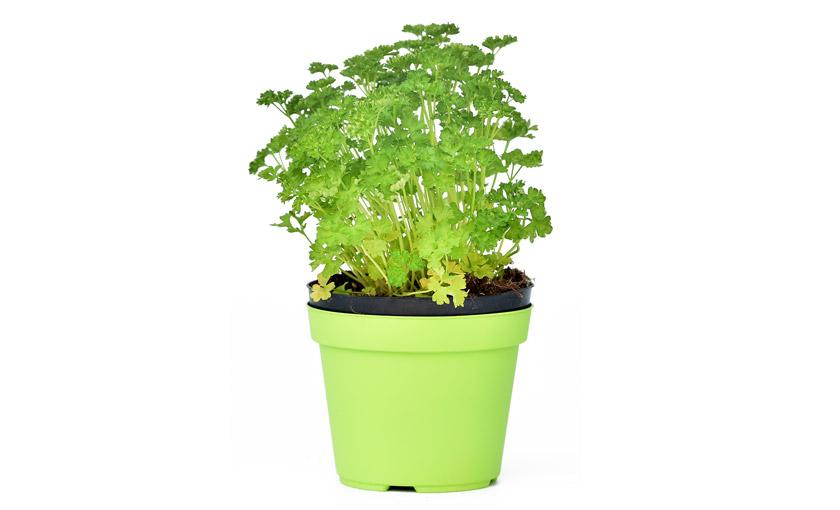 pianta-di-prezzemolo-riccio-savinivivai
