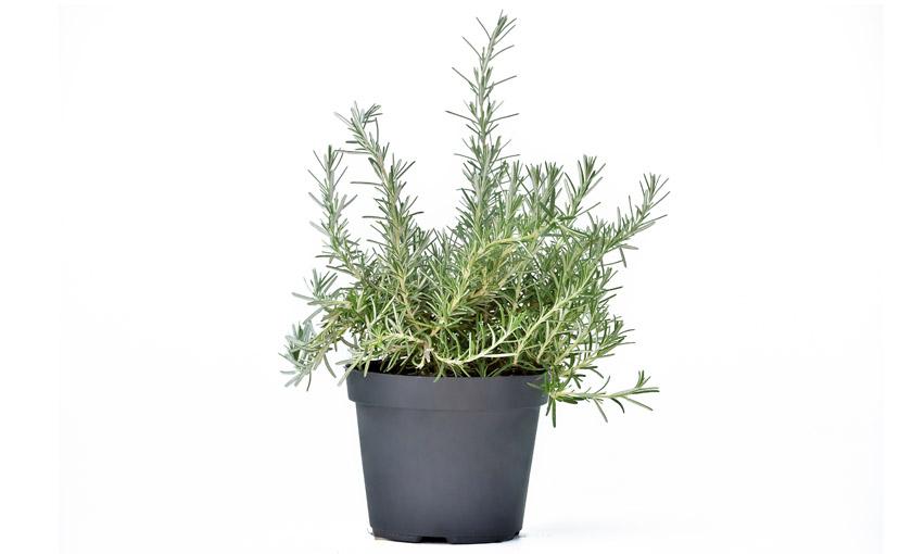 pianta-di-rosmarino-prostrato-savinivivai