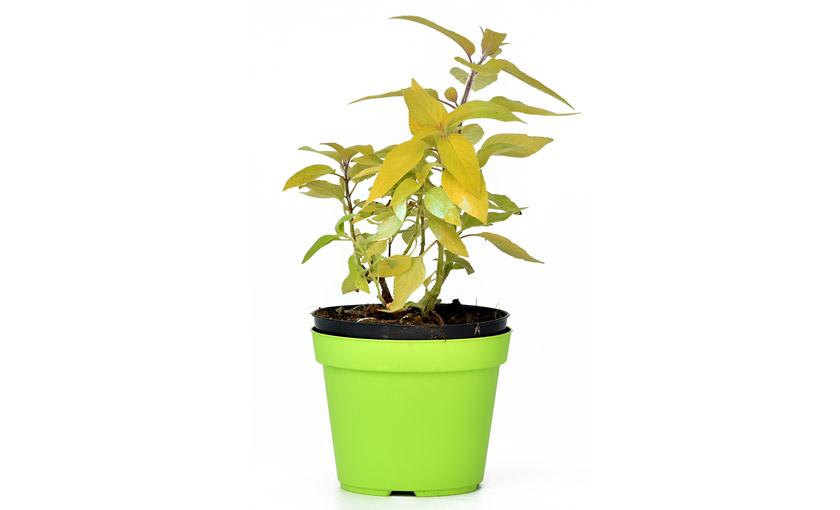 pianta-di-salvia-melone-savinivivai