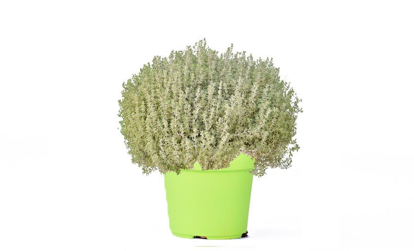 pianta-timo-variegato