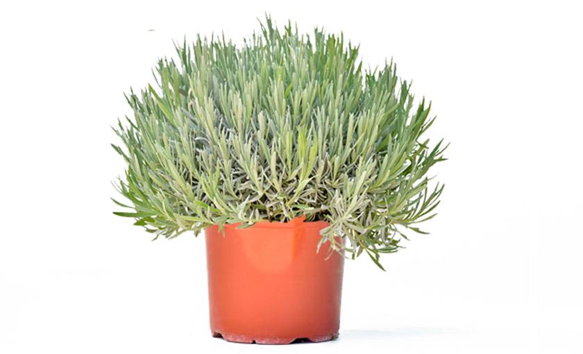Pianta di lavanda angustifolia in vaso 18 cm savini for Pianta lavanda in vaso