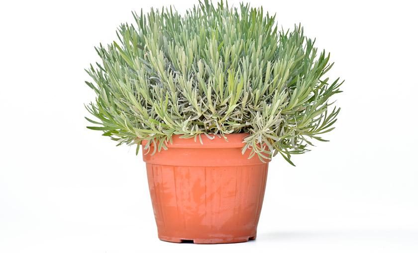 Pianta di lavanda angustifolia 25 cm savini vivai di for Pianta lavanda in vaso