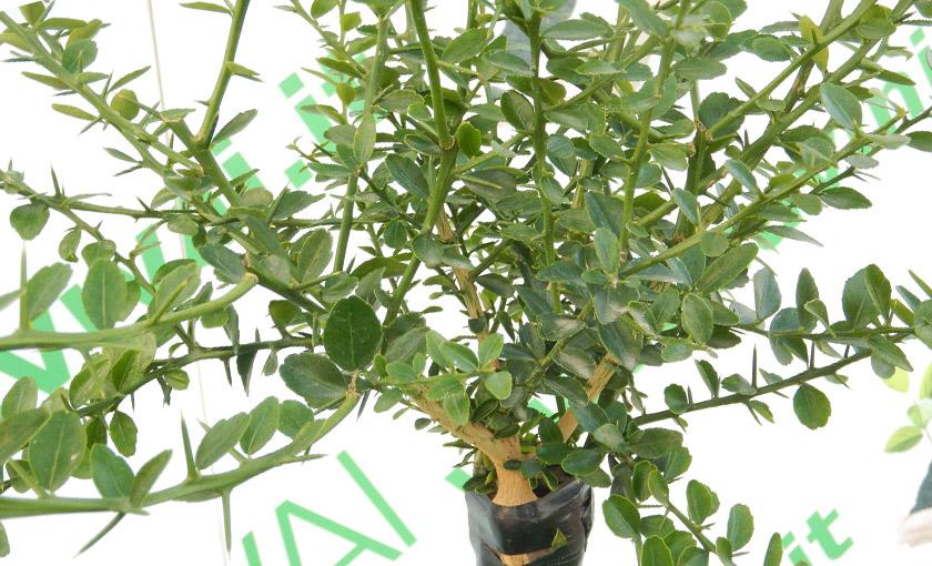 82 pianta del limone informazioni e potatura coltivarla for Potatura limoni in vaso