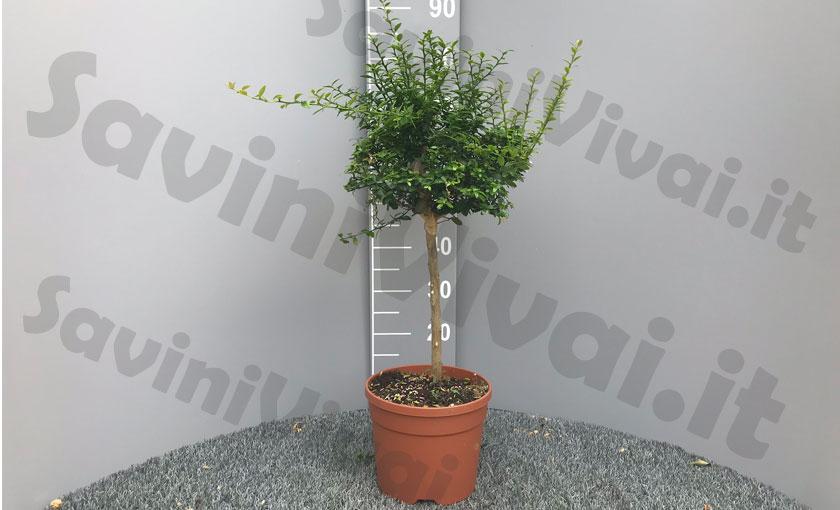 limone-caviale-rosso-pianta.jpg