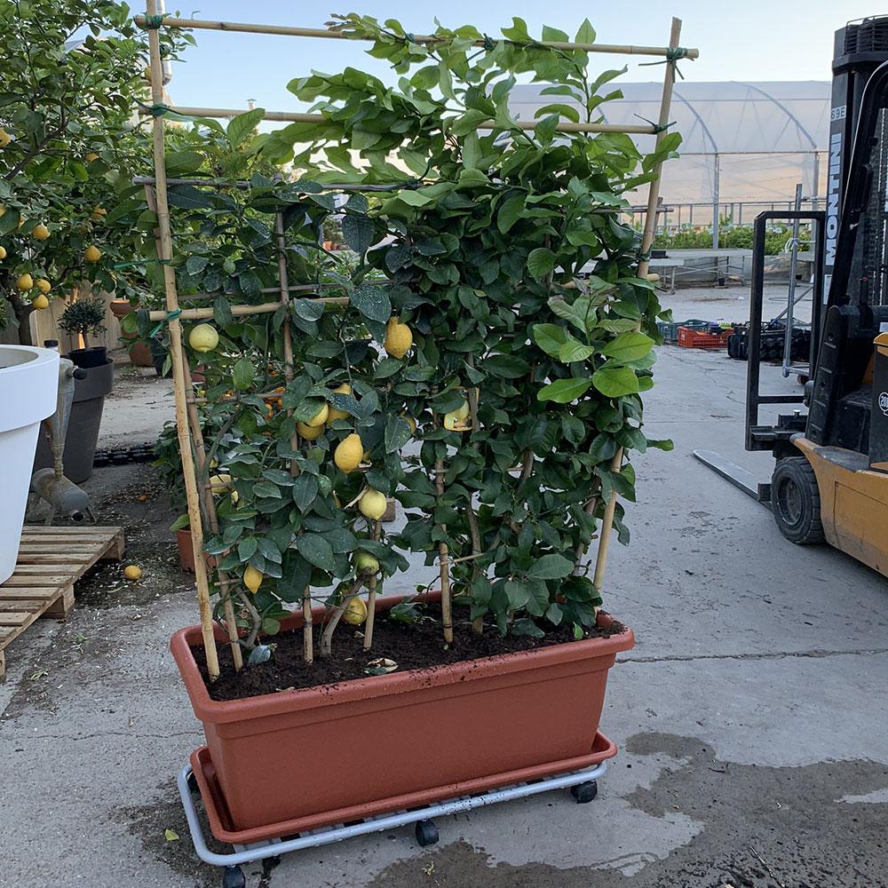Piante Da Frutto Nane pianta a spalliera di limone alta 180-200 in vasca da 100 cm