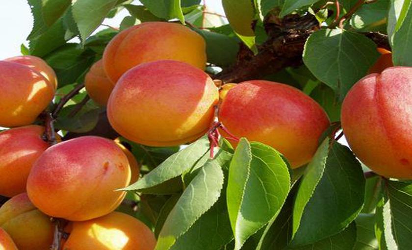 Piante di melograno for Piante da frutto vaso