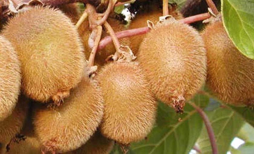 Piante di melograno for Piante da frutto kiwi