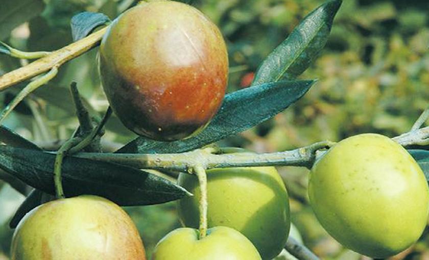 Pianta di olivo ascolana in vaso 15 savini vivai di for Piante da frutto vaso
