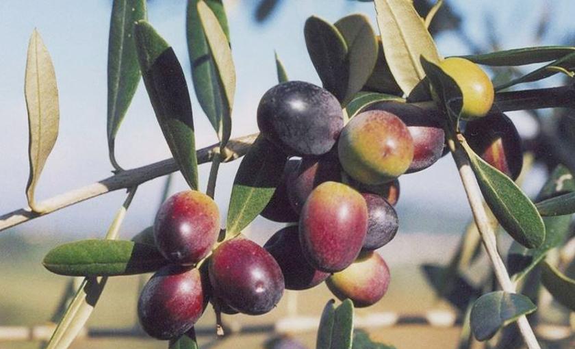 Pianta di olivo leccino in vaso 15 savini vivai di for Piante da frutto vaso