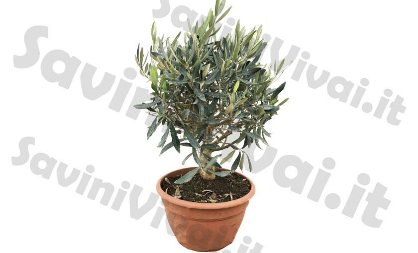 pianta di olivo bonsai in ciotola savini vivai di savini