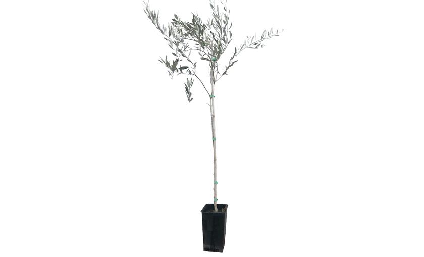 Pianta di olivo manzanilla in vaso 15 savini vivai di for Piante da frutto vaso