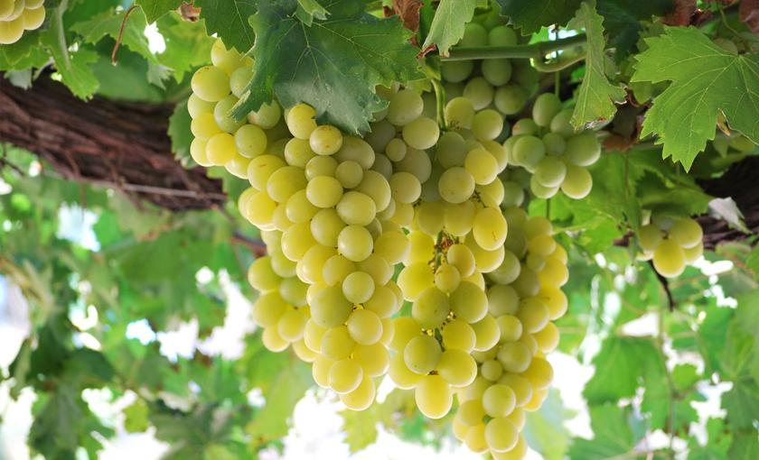 Piante di melograno for Piante da frutto nord italia