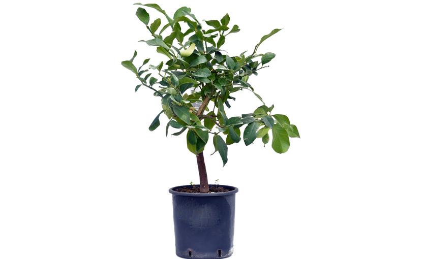 pianta di limone pane in vaso 20 22 cm savini vivai di