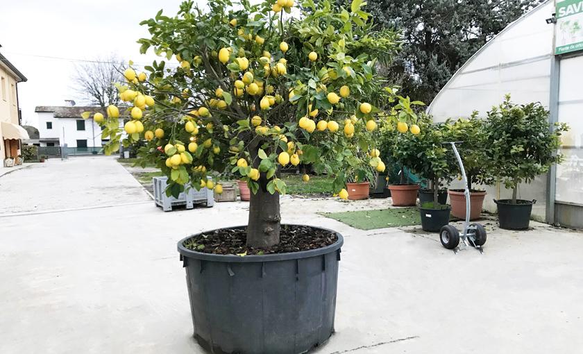 Immagine 1 Pianta grande di Limone 4 Stagioni.