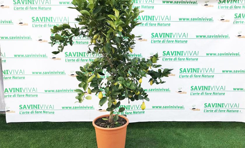Albero di limone in vaso acquista pianta di limone bakker for Pianta limone 4 stagioni