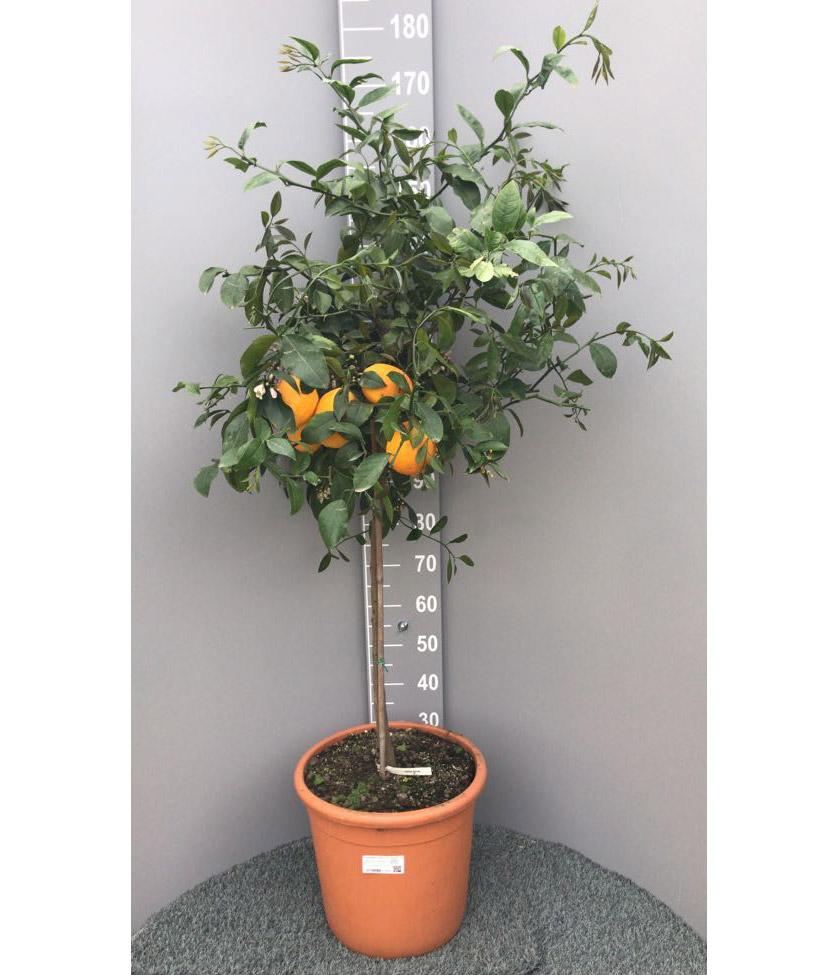 Piante Da Frutto Nane pianta di limone meyer in vaso 35 cm - savini vivai di